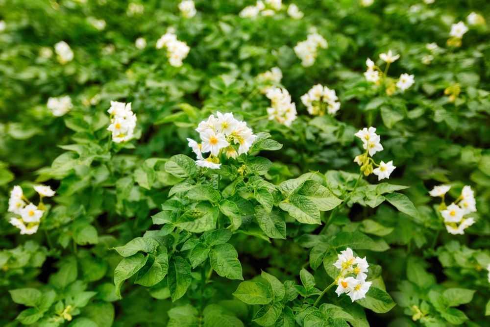 картофель цветы