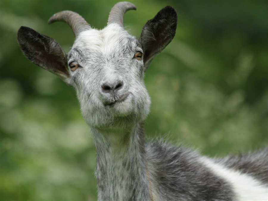 Картинка прикольный козел, днем железодорожника гифы