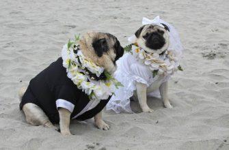 Свадьба бульдогов