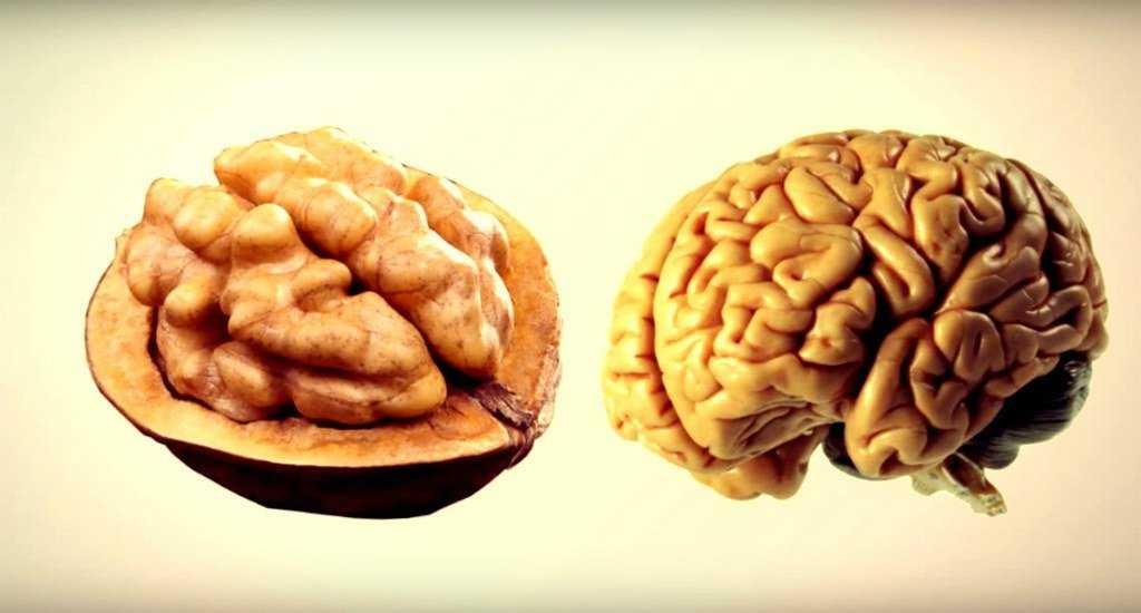 Мозг и грецкий орех