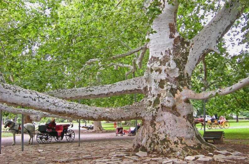 Платан дерево