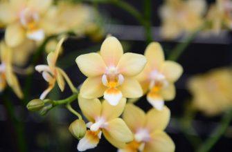 Учёные вывели новый сорт орхидеи