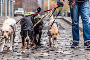 Россияне в состоянии алкогольного опьянения не смогут выгуливать домашних животных