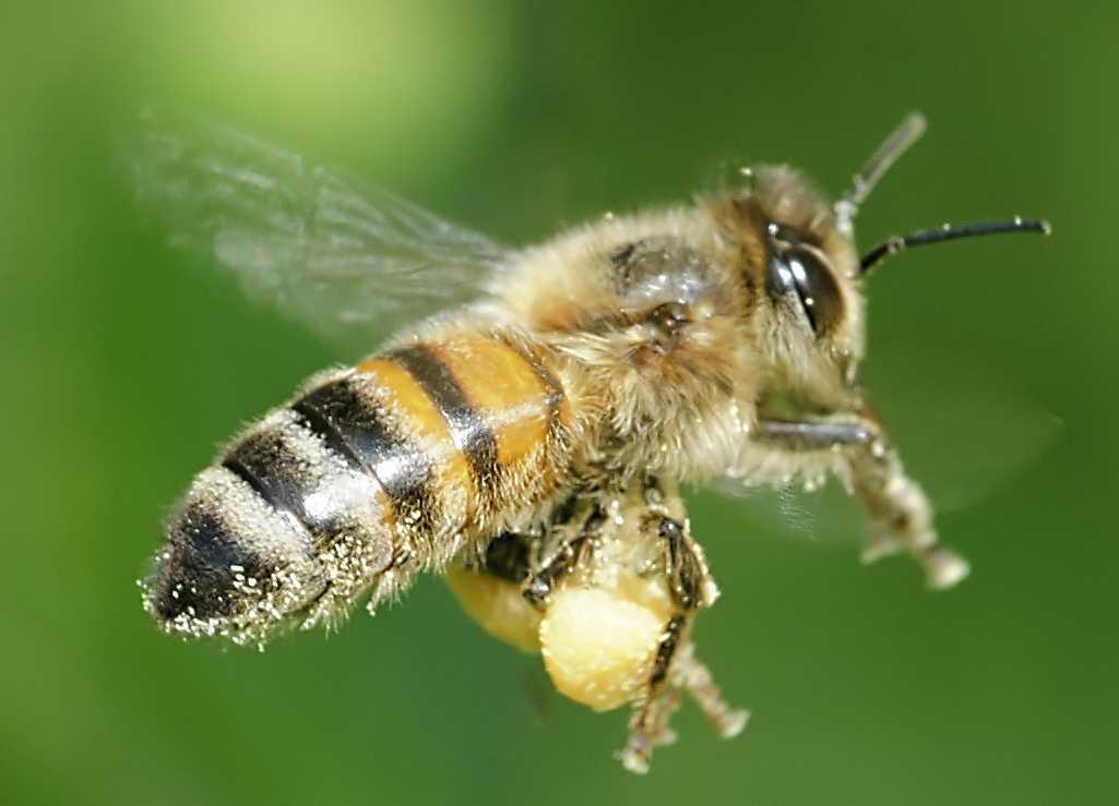 Москвичей предупредили, что следует опасаться пьяных пчел