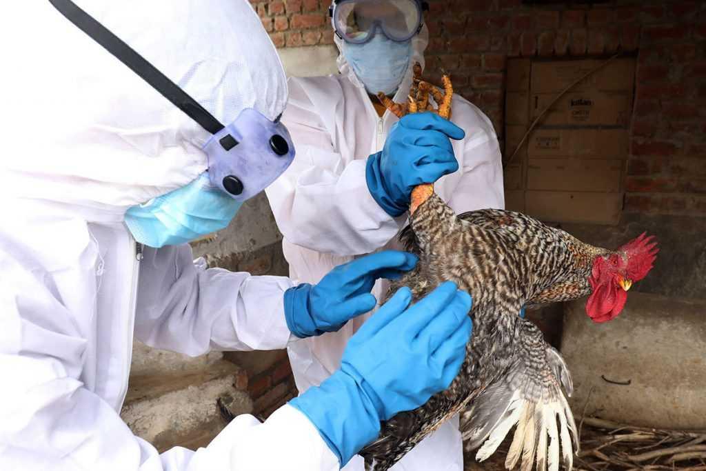 В Индии зафиксирована первая смерть от птичьего гриппа