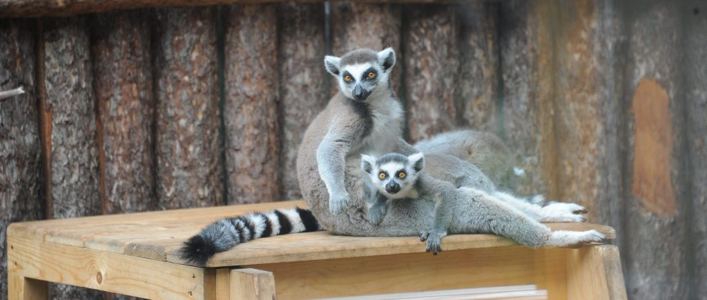 В зоопарке столицы родился редкий детёныш кошачьего лемура