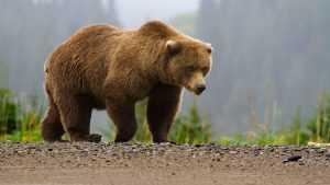Сочинский медведь напал на туристов и разорвал им палатки